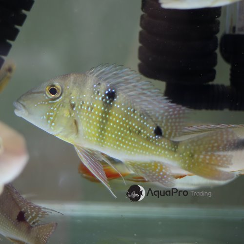 [게오파거스] Geophagus Harreiri