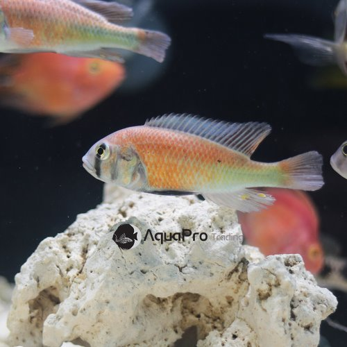 [빅토리아] Haplochromis sp. hippo point salmon