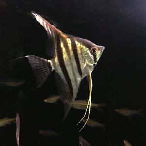 "[엔젤] Pterophyllum scalare ""Suriname red spot"" 수리남 레드스팟 엔젤"